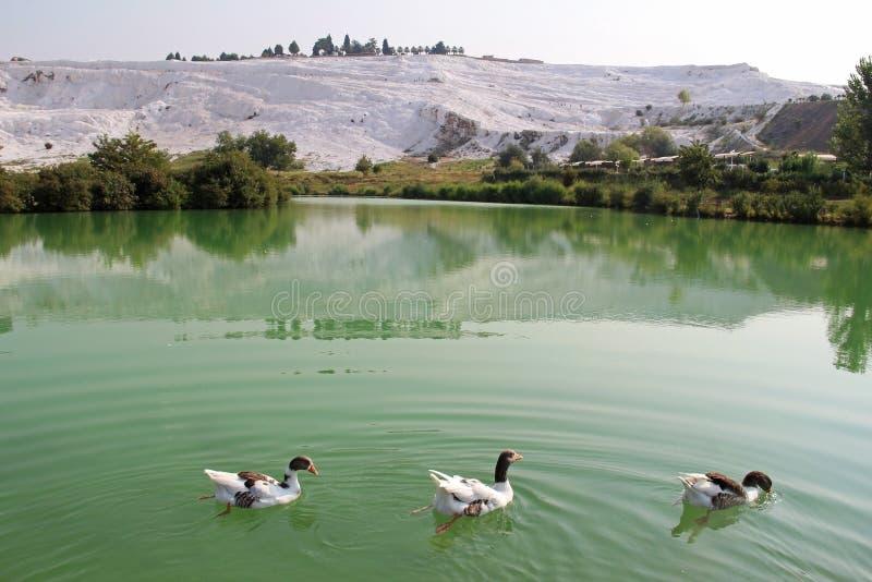 Gąski na jeziorze, wapniejący wapień tarasują na tle Pamukkale, Turcja zdjęcia stock