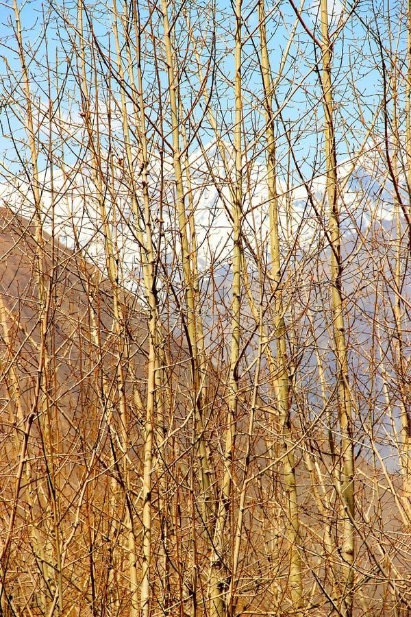 Gąszcze dzika wierzba w Himalajskich górach Nepal Królestwo wierzchu mustang zdjęcie royalty free