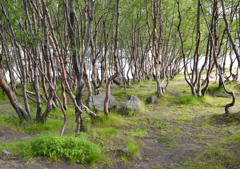 Gąszcze subarktyczne brzozy w lecie na banku jezioro zdjęcia stock