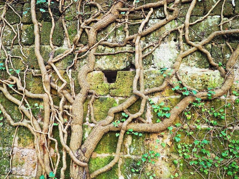 Gęści winogrady r na antycznej rujnującej ścianie obrazy royalty free