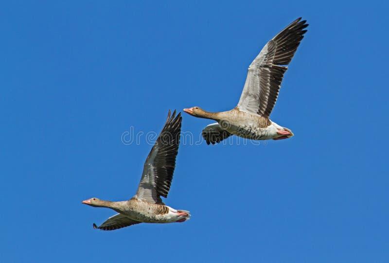 Gęgawa gąska w Nemunas delty lataniu obraz royalty free