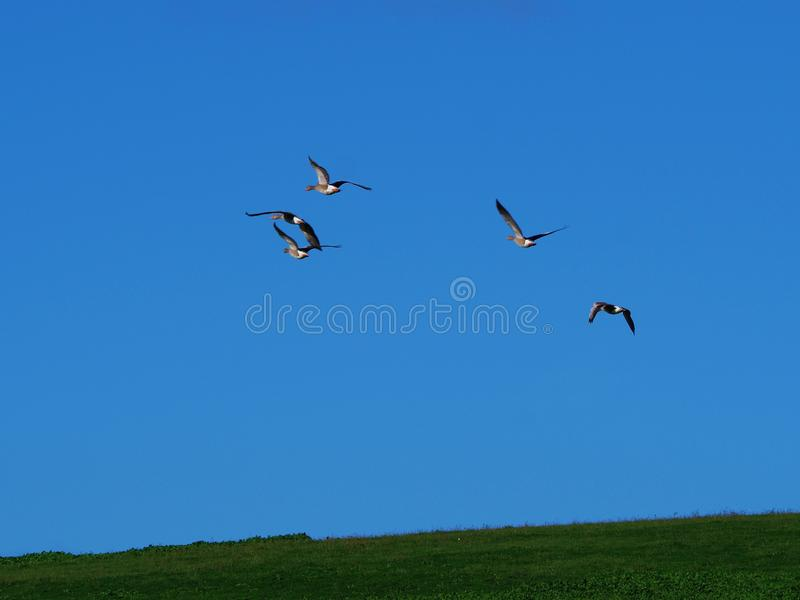 Gęgawe gąski w locie z jasnym niebieskim niebem zdjęcie royalty free