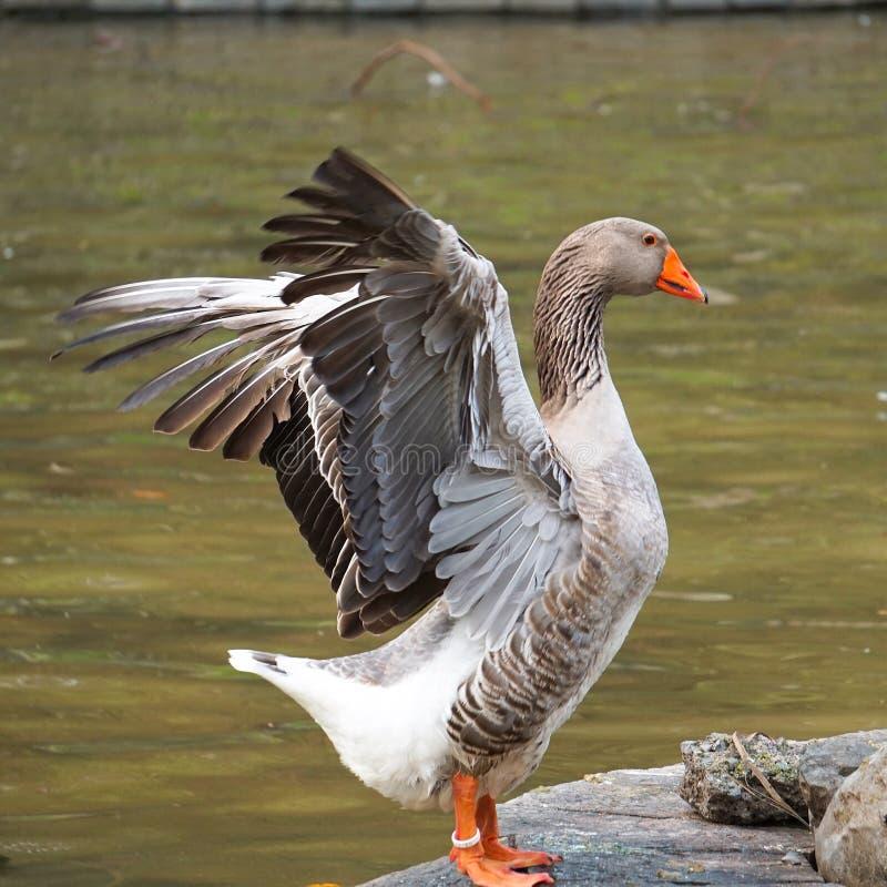 Gęsi kaczka ptak w parku w naturze zdjęcie royalty free