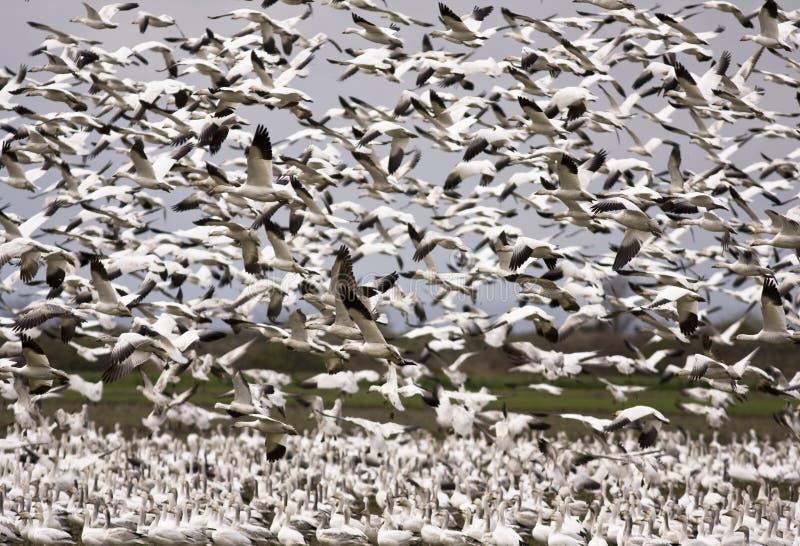 gęsi migracji śnieg obraz stock