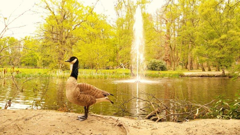 Gęsia pozycja przed wodną fontanną fotografia royalty free