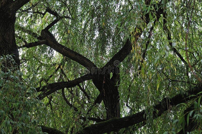 Gęste gałąź stary płacze wierzbowy drzewo zdjęcia stock