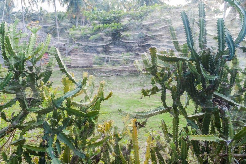Gęste pająk sieci plątać wśród kaktusów blisko Baracoa, Cu zdjęcie royalty free
