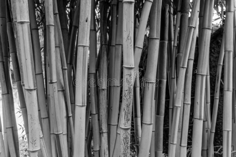 Gęsty Bambusowy tło obrazy royalty free