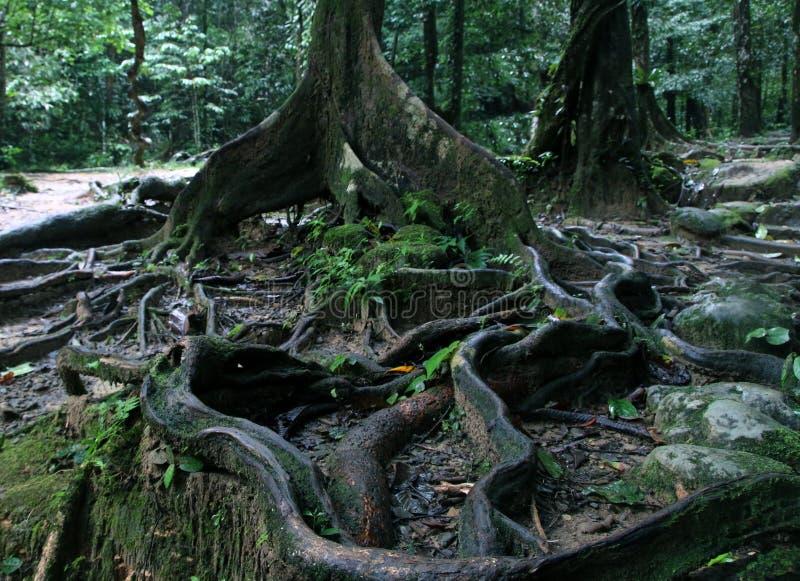 Gęsty drzewo zakorzenia podesłanie przez ziemię w tropikalnym lesie, zakończenie w górę widoku zdjęcie stock