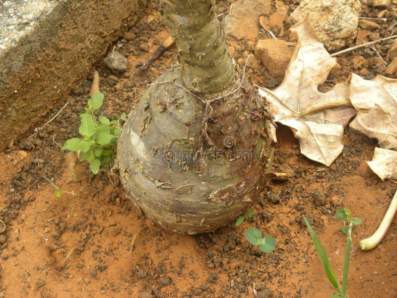 Gęsty korzeń Buddha brzucha roślina obraz royalty free