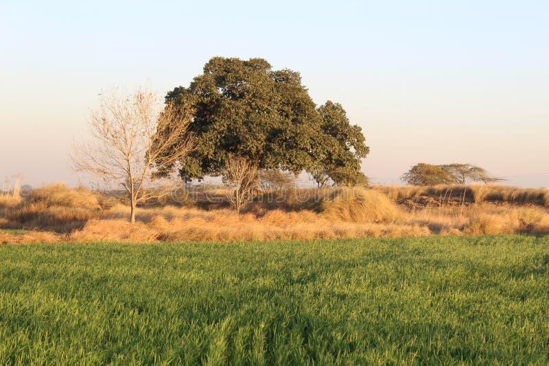 Gęsty ulistnienie majestatyczny drzewo w kraju obraz royalty free
