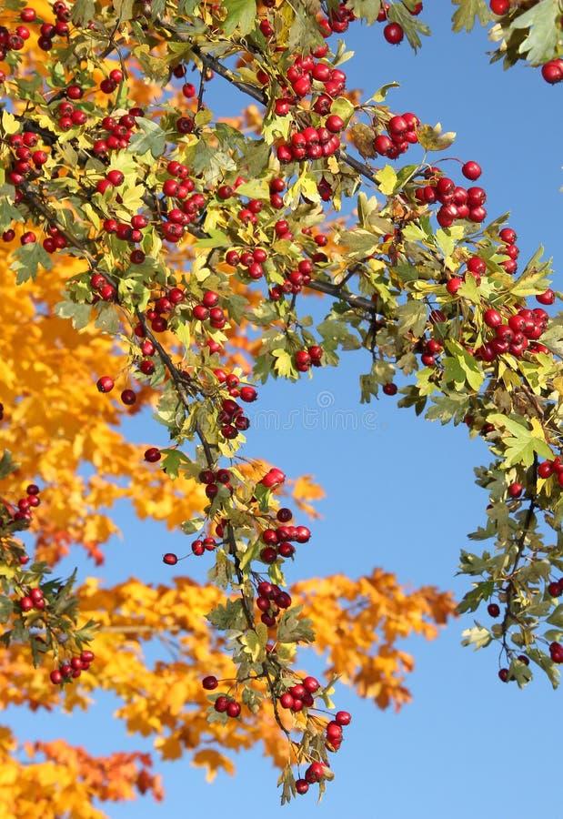 Głóg gałąź z owoc i liśćmi obrazy stock