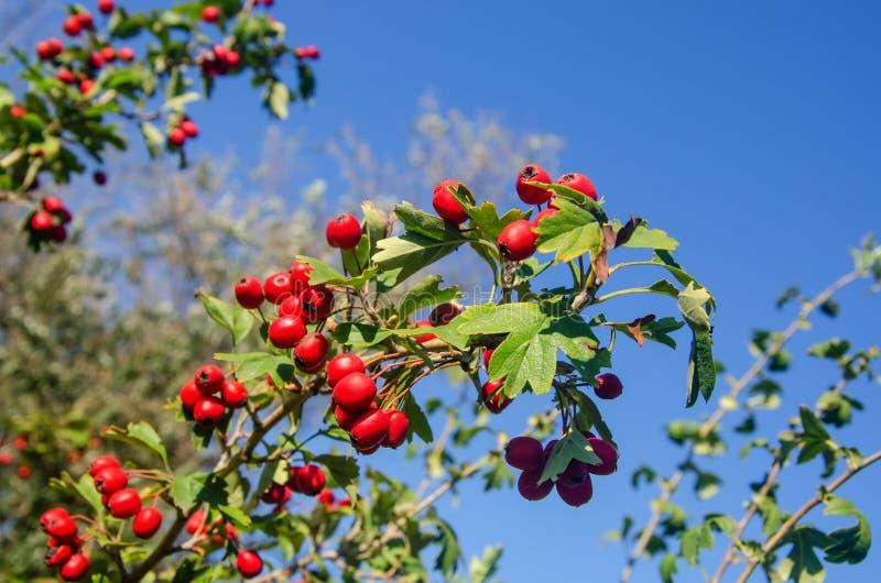 Głóg z owoc i liśćmi przeciw zdjęcie royalty free