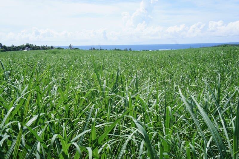 Główna rolnicza uprawa jest trzciną cukrową obrazy royalty free
