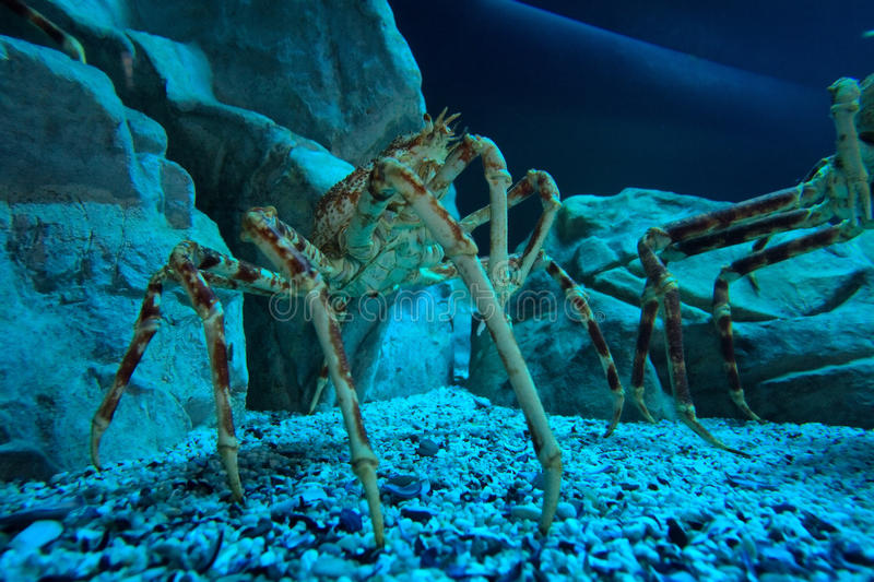 Głębinowy krab obraz stock