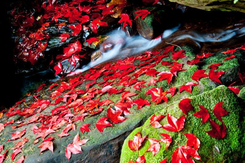 głęboka dżungla leafs klonowa czerwień obrazy stock