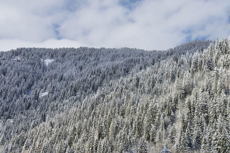 Głęboki Alpejskiej jodły las obraz stock