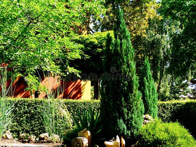 Głęboki bujny zieleni ostrosłup kształtował jałowów & szmaragdowej zieleni wiecznozielonego krzaka fotografia stock