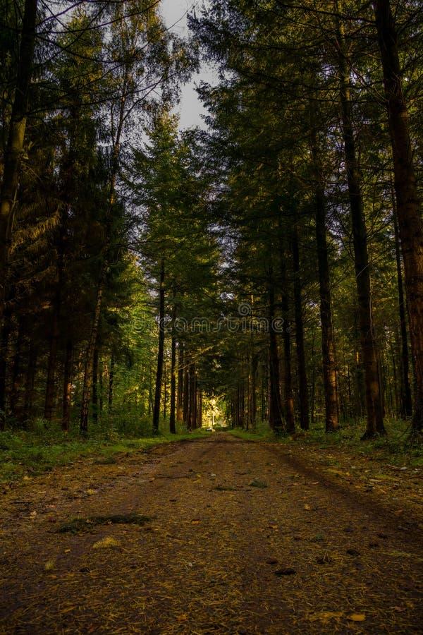 Głęboki ciemny świerkowy lasowy sposób obrazy royalty free