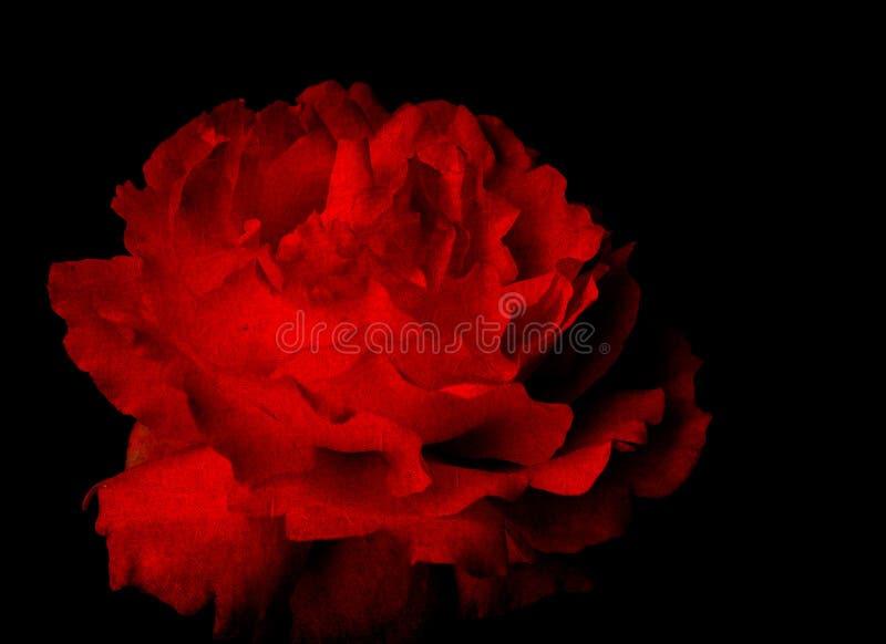 Głęboki - czerwieni róża fotografia royalty free