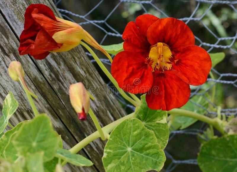 Głęboki przeciw zielonym liściom - czerwony nasturcja kwiatu dorośnięcie zdjęcie stock