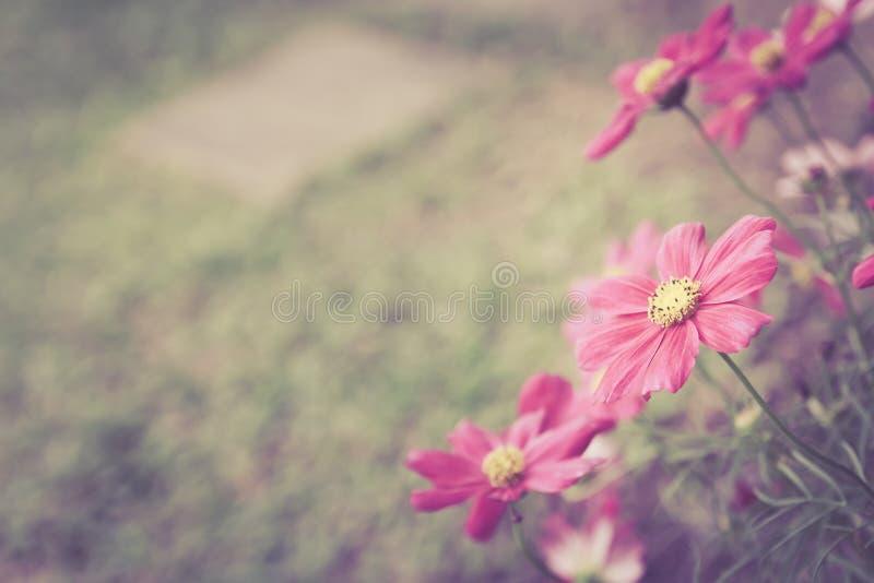 Głęboki - różowi kosmosów kwiaty w gardent koloru brzmienia roczniku projektują obraz royalty free