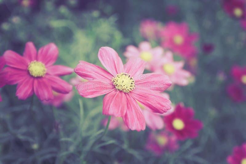 Głęboki - różowi kosmosów kwiaty w gardent koloru brzmienia roczniku projektują fotografia stock