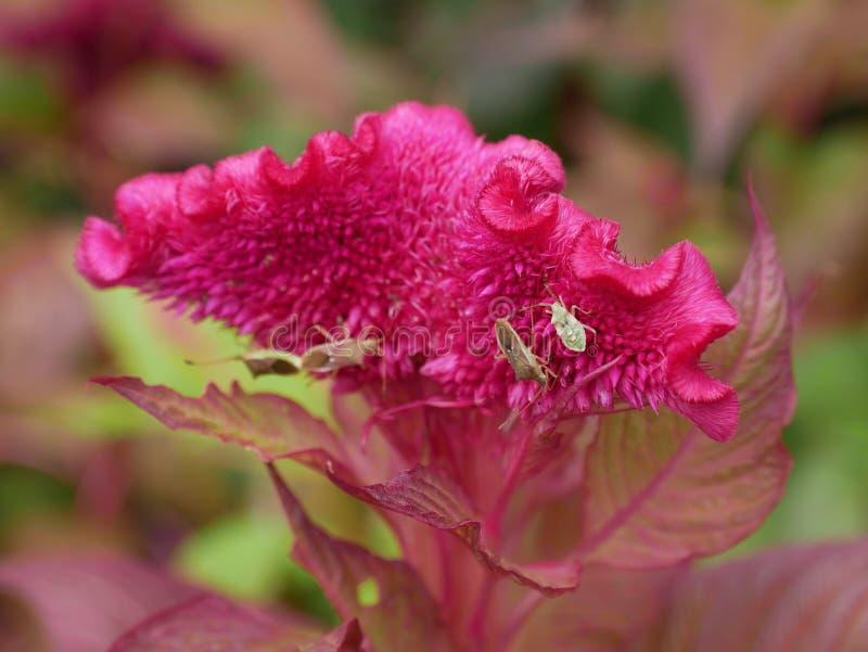 Głęboki - różowy cockcomb kwiat obraz royalty free