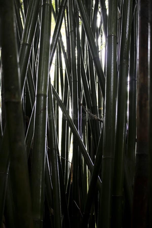 Głęboki - zieleni zakończenia Up Mokrzy Bambusowi Drzewni bagażniki obrazy royalty free