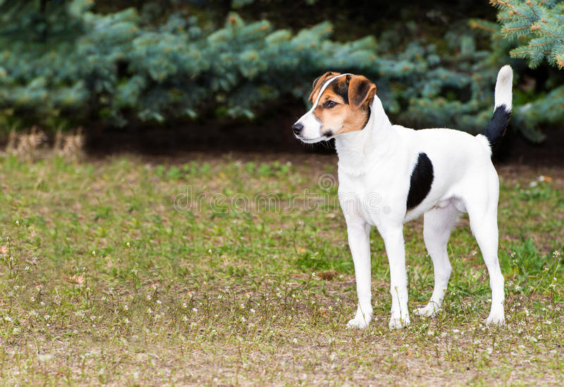 Gładcy Fox Terrier stojaki obraz royalty free