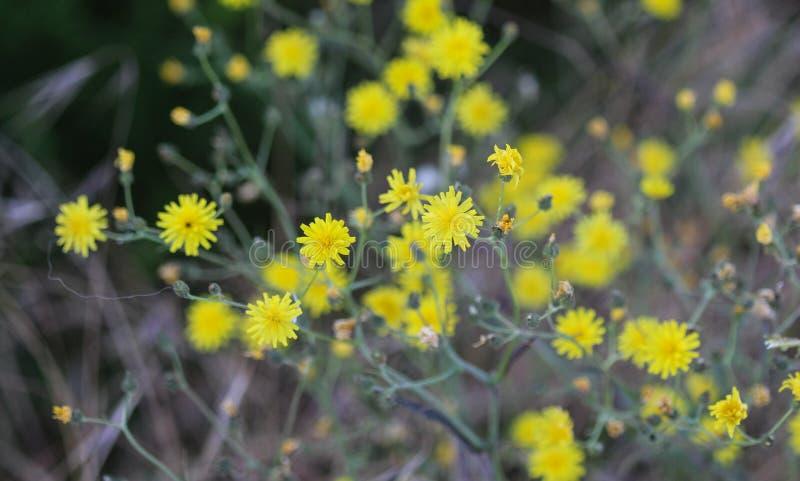 gładki hawksbeard, Crepis capillaris, kwitnie w lato sezonie obrazy stock
