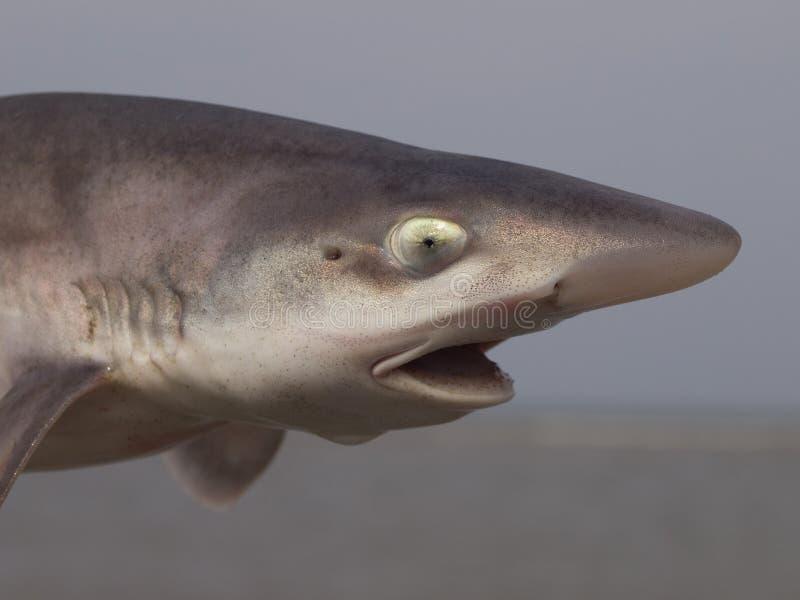 gładki ogara pospolity rekin zdjęcie stock