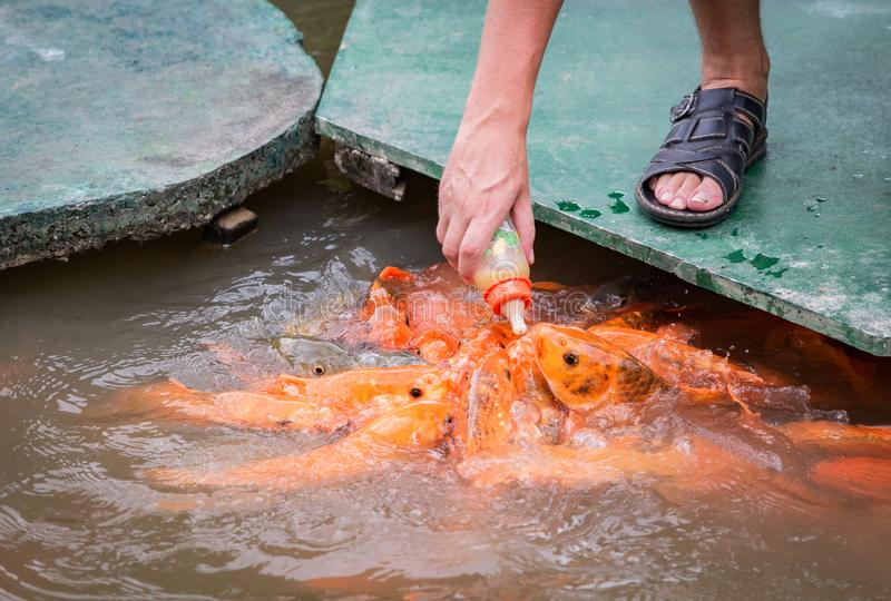 Głodna złocista azjata ryba je jedzenie od butelki w stawie ręka mężczyzna s mężczyzna karm ryba obraz stock