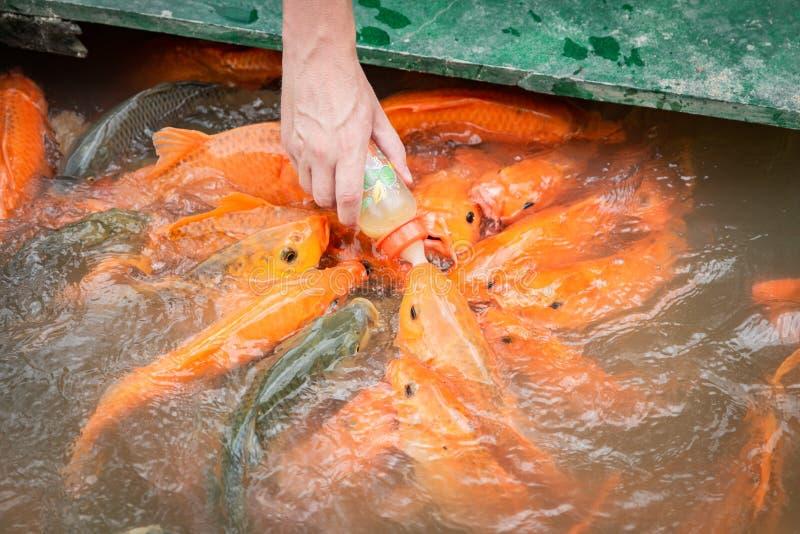 Głodna złocista azjata ryba je jedzenie od butelki w stawie ręka mężczyzna s mężczyzna karm ryba zdjęcia stock