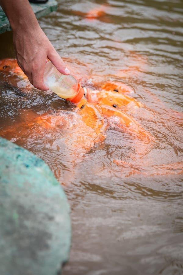 Głodna złocista azjata ryba je jedzenie od butelki w stawie ręka mężczyzna s mężczyzna karm ryba zdjęcie royalty free