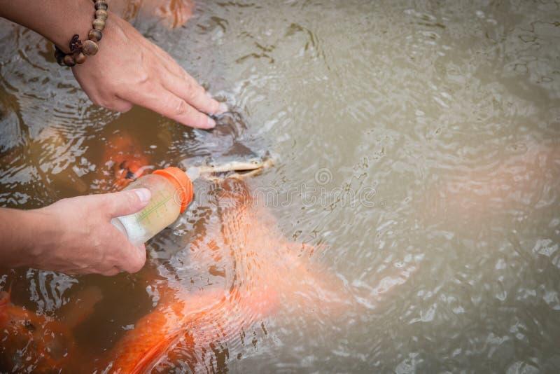 Głodna złocista azjata ryba je jedzenie od butelki w stawie ręka mężczyzna s mężczyzna karm ryba obraz royalty free