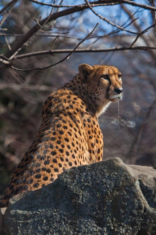 G?odny ?aciasty gepard kapie ?lin? siedzi w przyczajeniu z jego fangs, on chce je?? fotografia stock