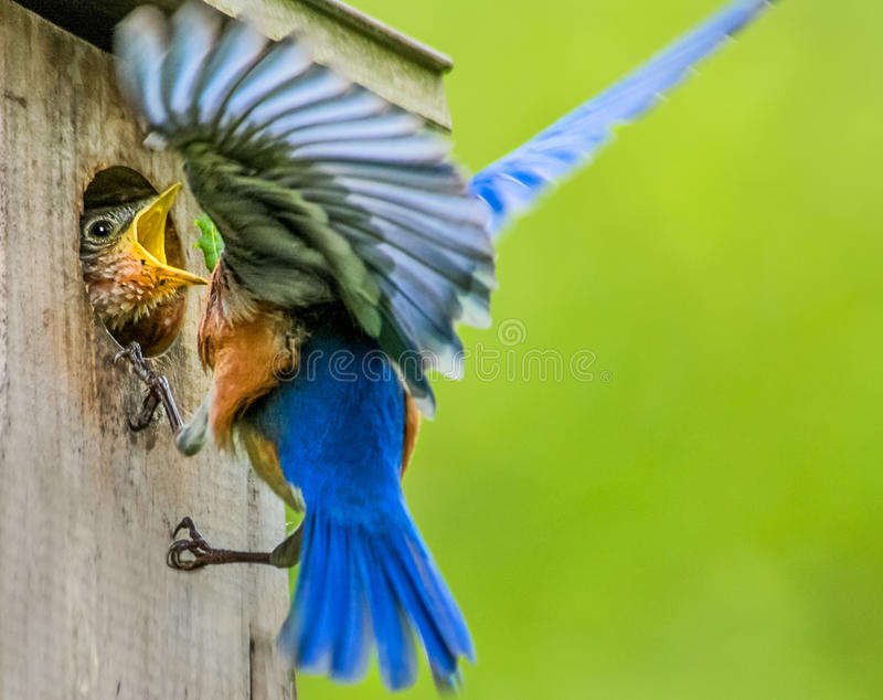 Głodny dziecka błękita ptak dostaje nakarmoinym obrazy stock