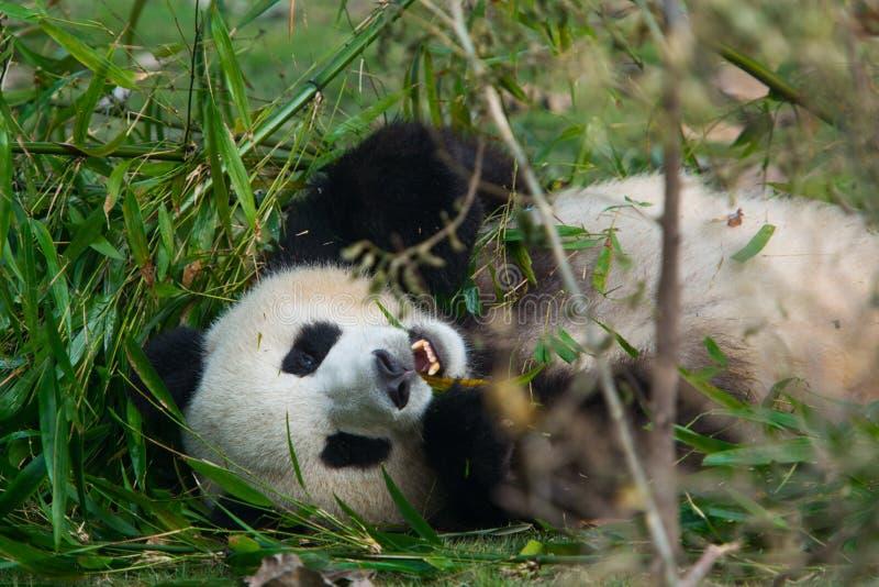 Głodny gigantycznej pandy niedźwiedź je bambusa obraz royalty free