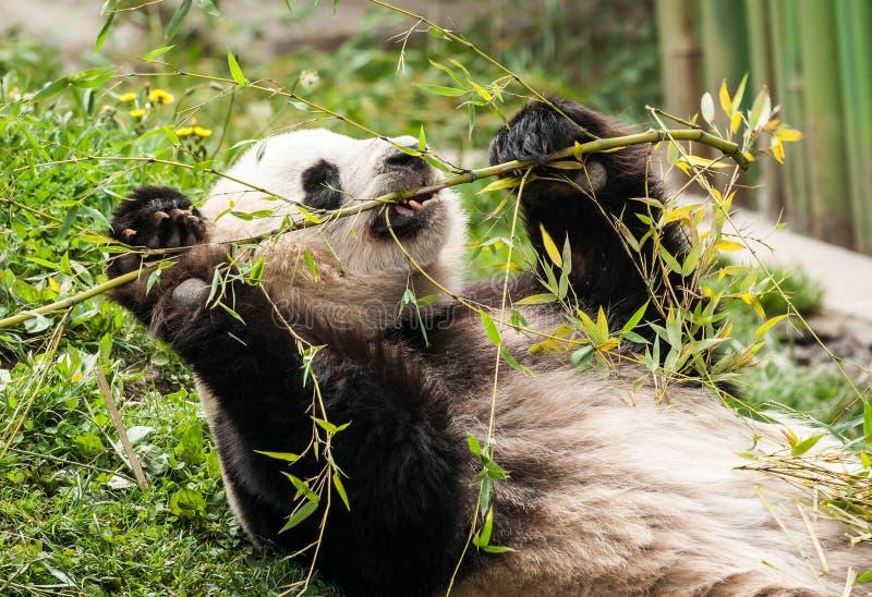 Głodny gigantyczny czarny i biały panda niedźwiedź je bambusa zdjęcia stock
