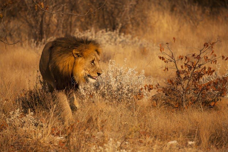 głodny lew obrazy stock