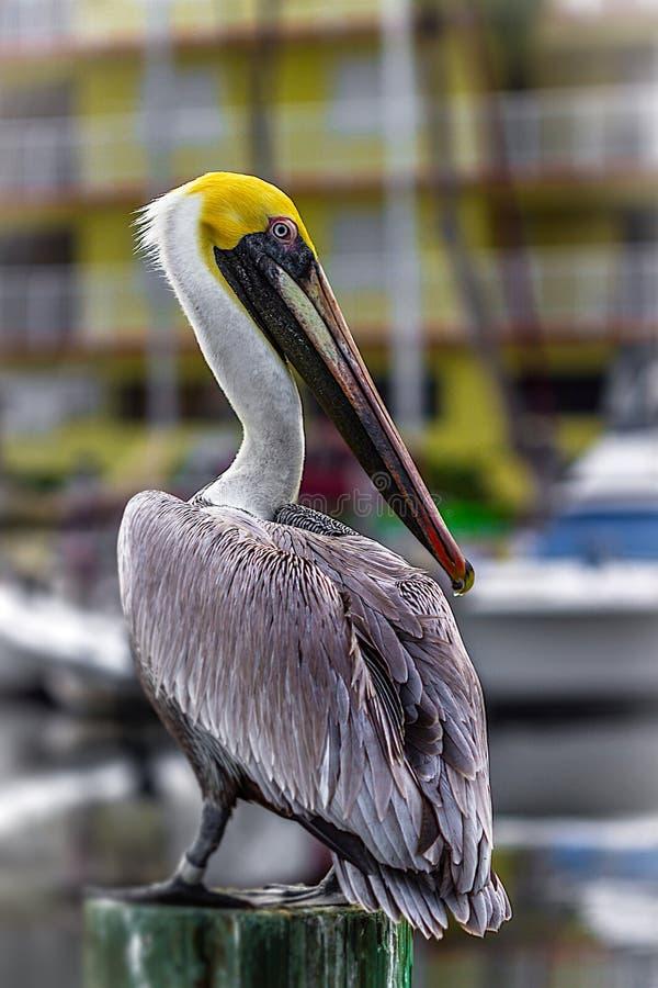Głodny pelikan fotografia stock