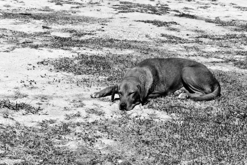 Głodny przybłąkanego psa czekanie someone daje jedzeniu na brudnej ziemi w czarny i biały fotografii zdjęcie royalty free