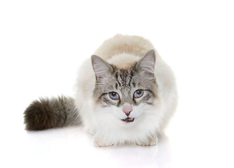 Głodny ragdoll kot obraz royalty free