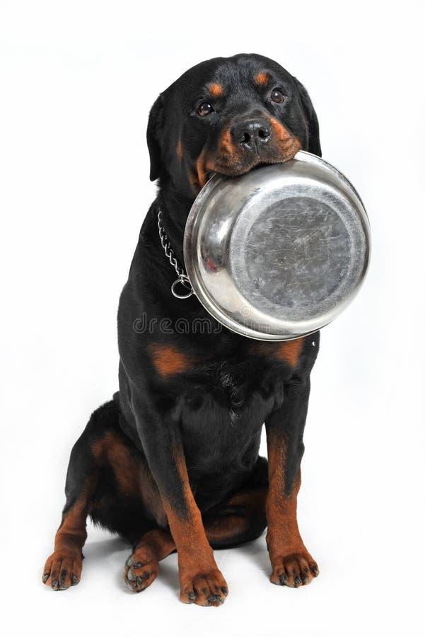 głodny rottweiler fotografia stock