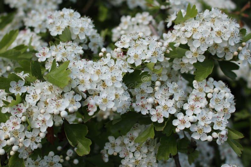 Głogów kwiaty obraz stock