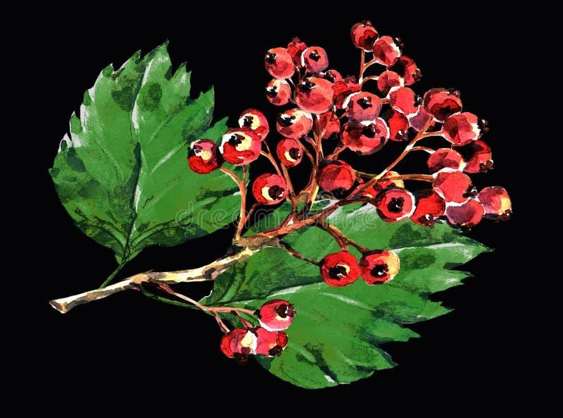 Głogowa czerwień, gałęziasta czarna tło akwarela royalty ilustracja