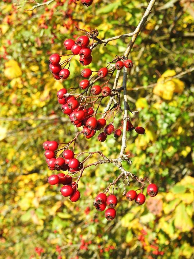 Głogowe jagody w jesieni, Lithuania obraz stock