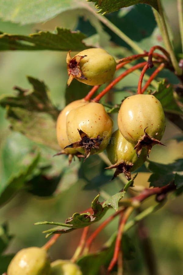 Głogowe owoc dojrzewają zbliżenie obrazy stock