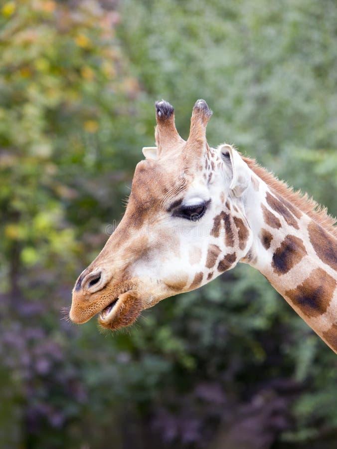 Głowa żyrafa, zakończenie, na zielonym lasowym tle zdjęcie royalty free